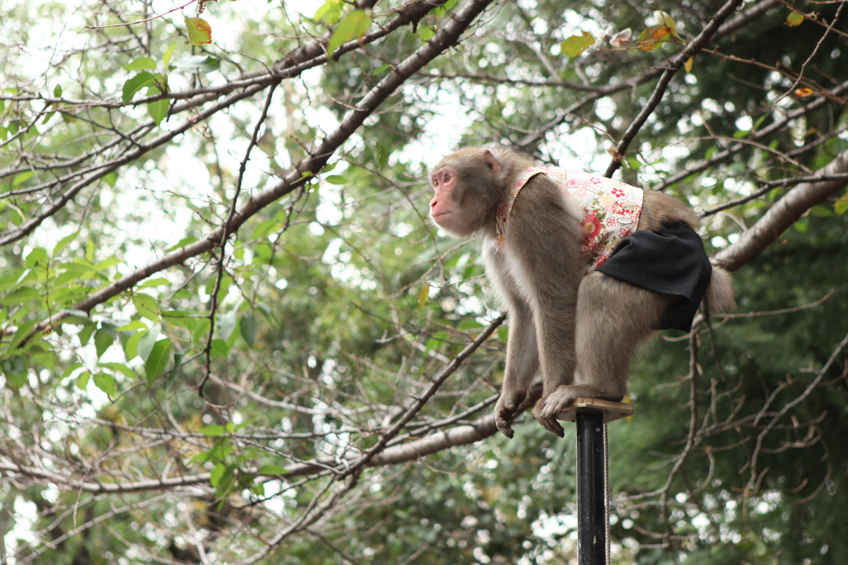 日光さる軍団のお猿さん