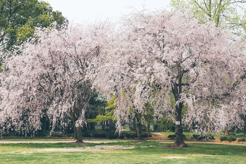 越谷久伊豆神社の桜