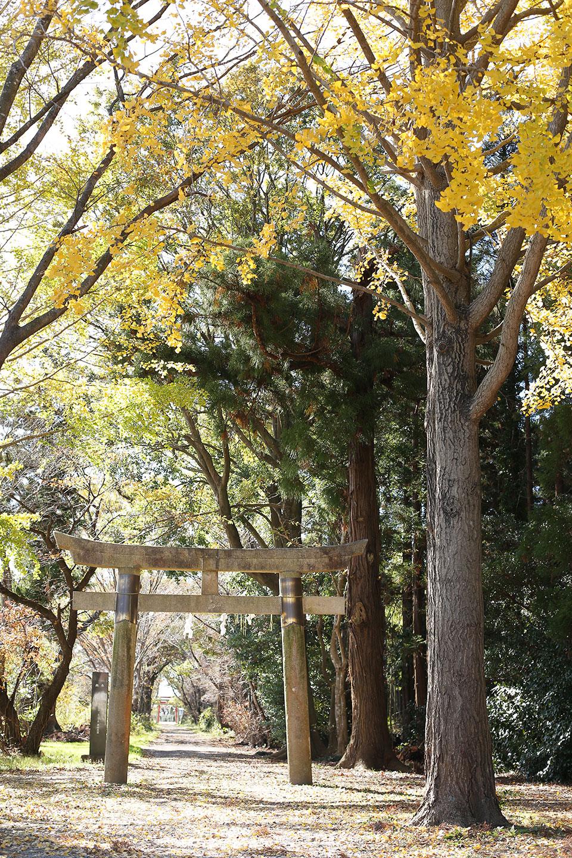 イチョウの木と鳥居
